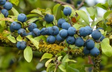 Sloes (and lichen)