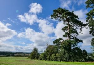 Pine and a far horizon