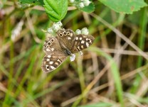 Speckled wood - in the wood...