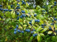 Sloes in abundance