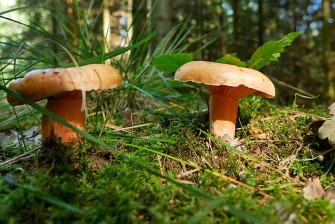 Toadstools under the trees