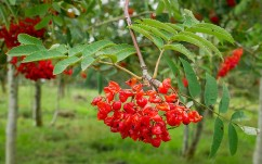 Rowan ex-berries
