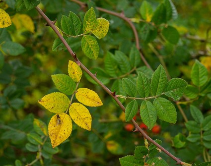 Leaves of wild rose