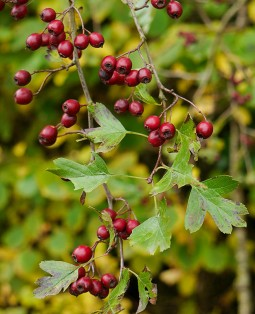 Haws in the hedge