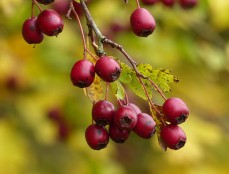 Fruit of the hawthorn
