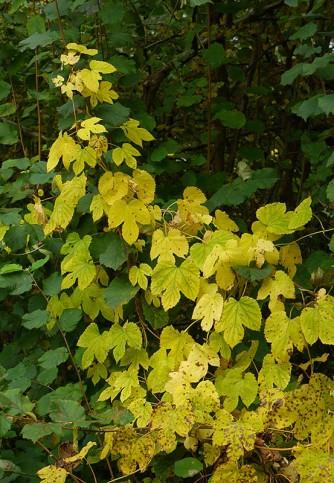 Hop vines