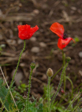Last gasp of the poppies