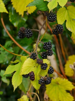 Hop leaves and blackberries (devil's in 'em!)