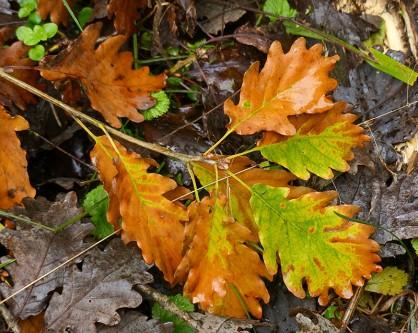 Fallen oak twig