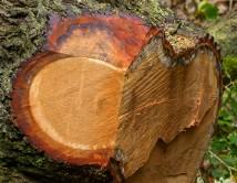 Fallen oak!