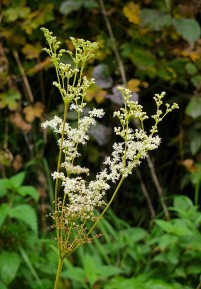 Meadowsweet - summer in October