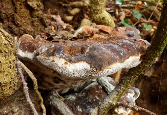 Ancient bracket fungus