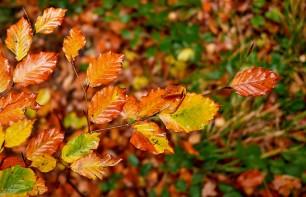 Colourful beech