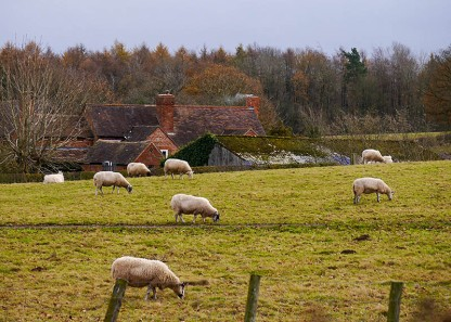 Sheep and Hannigan's Farm