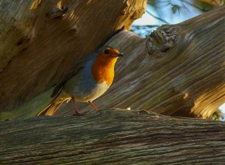 Robin in a yew tree