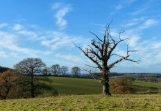Cirrus and dead tree