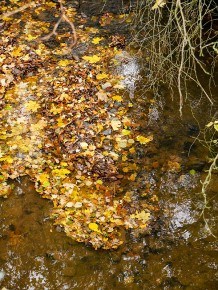 Leaves in Bullhill Brook
