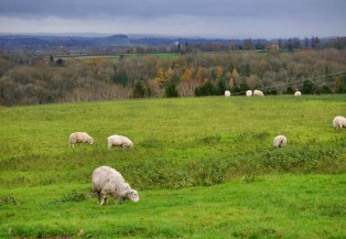 Here are the sheep, in the field...