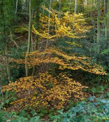 Beech in the woods