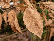 Hedgerow leaves