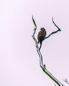Soggy buzzard