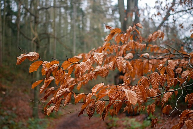 Beech leaves in Chestnut Coppice