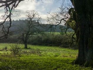 Oaks by the Fiery Fields