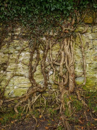 Ivy on the wall