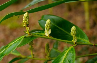 Rhododendron buds
