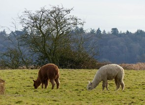Pound Lane alpacas