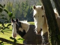 Haycop horses