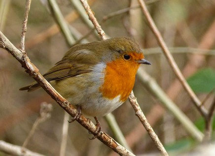Haycop robin
