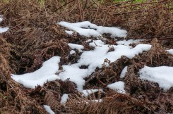 Snow on bracken