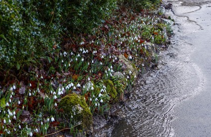 Snowdrops and running water