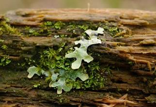 Lichen on the gate (choc. spot)