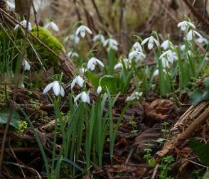Linley Brook snowdrops