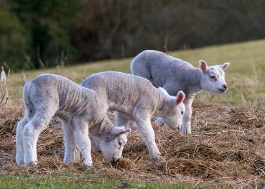 New-born lambs