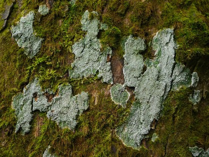 LIchen and moss on tree