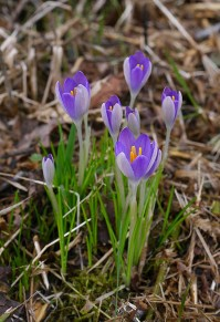 Escapees? Crocuses on the verge