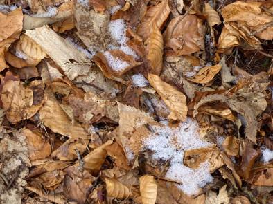 Dead chestnut leaves