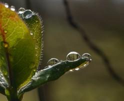 Honeysuckle raindrops