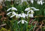 Hazel Cottage snowdrops