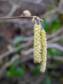 ... and catkins