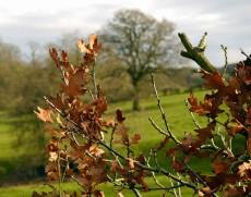 Last year's oak leaves