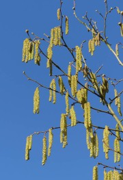 Catkins and clear blue sky