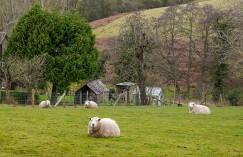 Blobby sheep