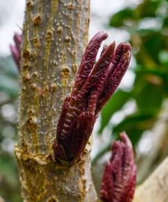Elder buds bursting