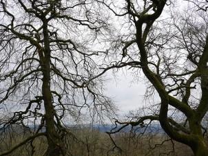 Tangled trees on Ned's Lane