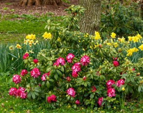 Rhododendron - in late March!