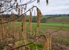 Landscape with catkins